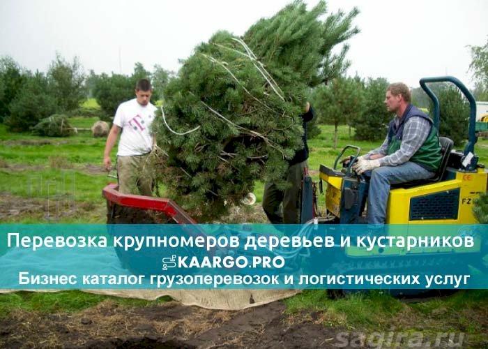 Перевозка крупномеров деревьев и кустарников